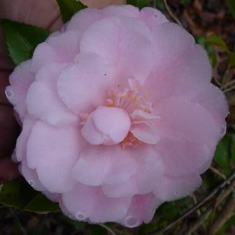 Sweet Emily Kate Camellia