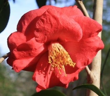 Lady Clare Camellia, Akashigata Camellia, Pink Empress Camellia