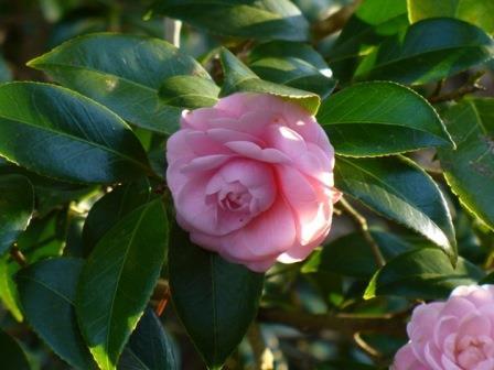 Pink Perfection Camellia, Otome Camellia