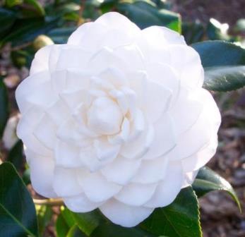 Sea Foam Camellia Shrubs Trees All Almost Eden