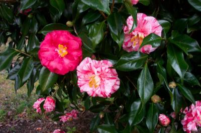 Tricolor Superba Camellia
