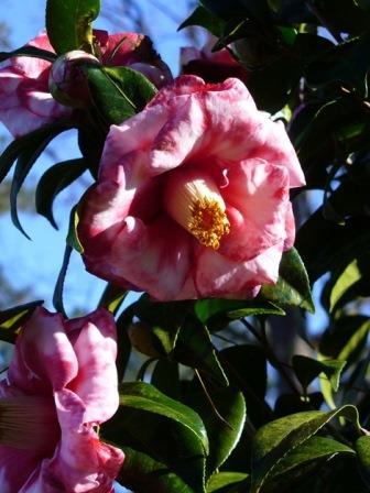 Adolphe Audusson Special Camellia