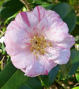 Almost Anita Camellia