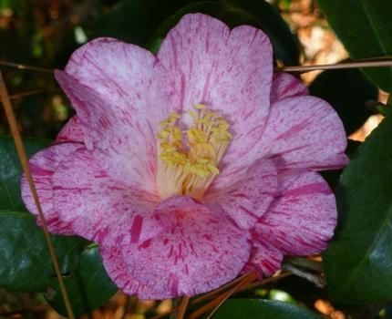 Anita Camellia
