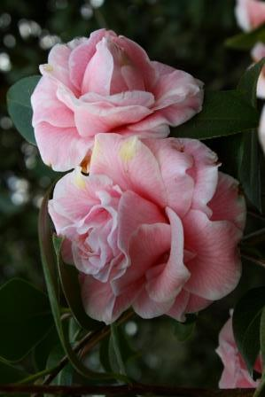 Betty Sheffield Funny Face Camellia, Charming Betty Camellia