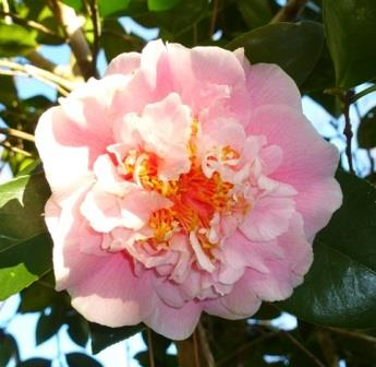 C.M. Wilson Camellia