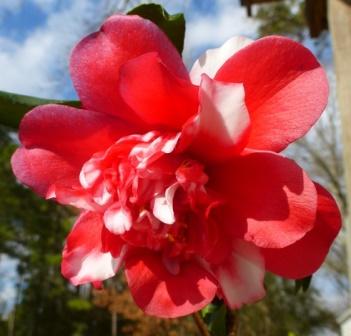 Edna Campbell Variegated Camellia