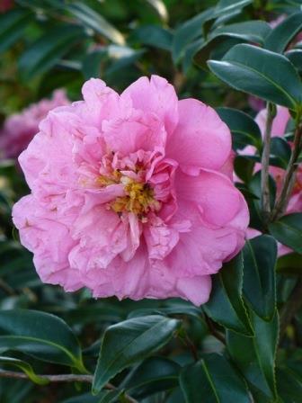 Egao Corkscrew Contorted Camellia