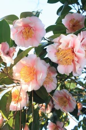 Elegans Splendor Camellia, C.M. Wilson Splendor Camellia