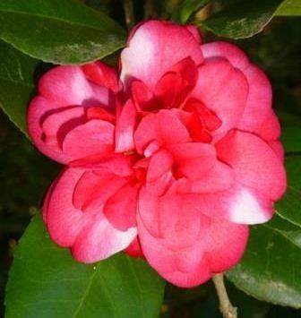 Glen 40 Camellia