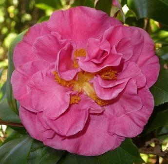 Marie Bracy Camellia, Spellbound Camellia