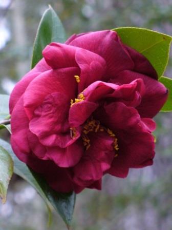 Mrs. Charles Cobb Camellia