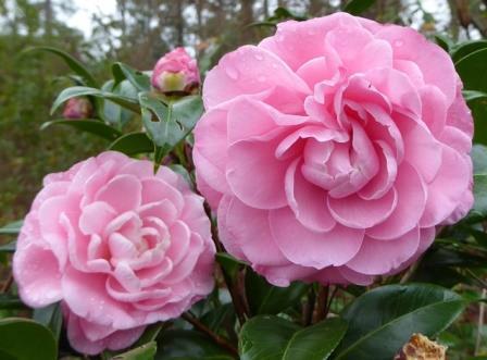 Nuccio's Cameo Camellia