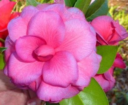 Purple Dawn Camellia, Mathotiana Camellia