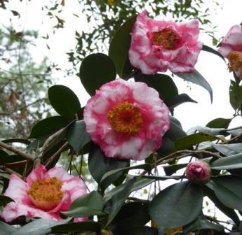 R.L. Wheeler Variegated Camellia