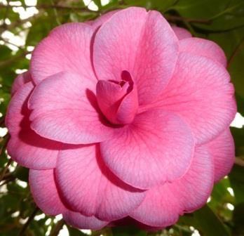 Smokey Dawn Camellia