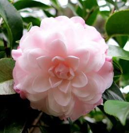 Stephen's Garden Camellia