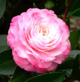 Tammia Camellia
