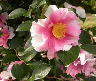 Dream Team™ Sasanqua Camellia