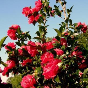 October Magic® Rose™ Camellia