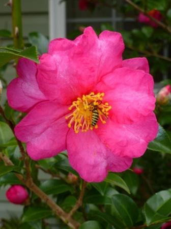 Bonanza Sasanqua Camellia