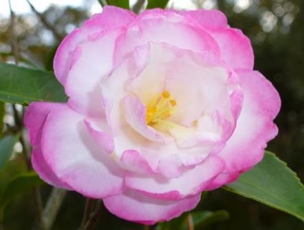 Leslie Ann Sasanqua Camellia