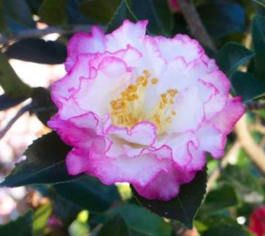 October Magic® Inspiration™ Camellia