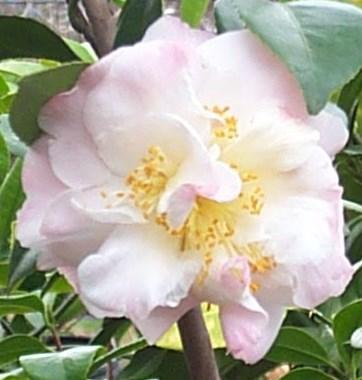 Nina Avery Camellia