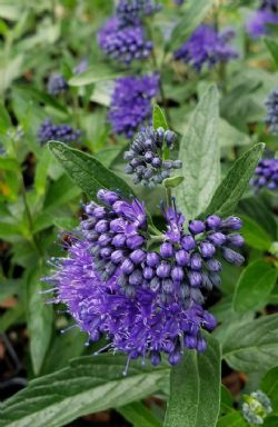 Dark Knight Bluebeard, Spiraea, Caryopteris