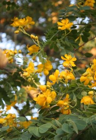 Winter Cassia, Christmas Senna, Butterfly Bush