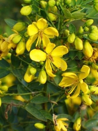 Yellow Cassia, Senna