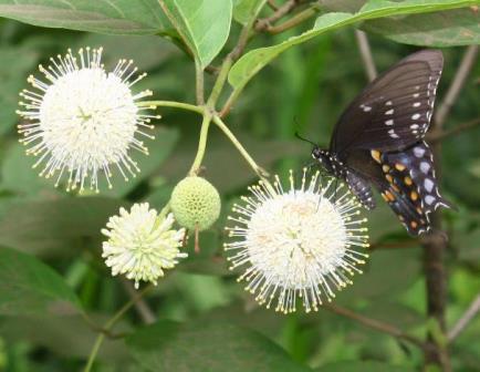 Buttonbush, Button Willow, Honey Bells