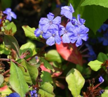 Dwarf Blue Plumbago, Leadwort