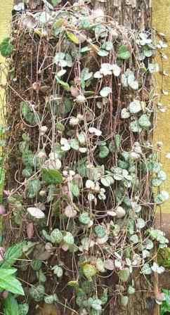 String of Hearts, Rosary Vine, Sweetheart Vine