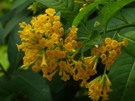 Orange Zest Cestrum, Golden Cestrum, Yellow Cestrum, Orange Jessamine, Orange Jasmine