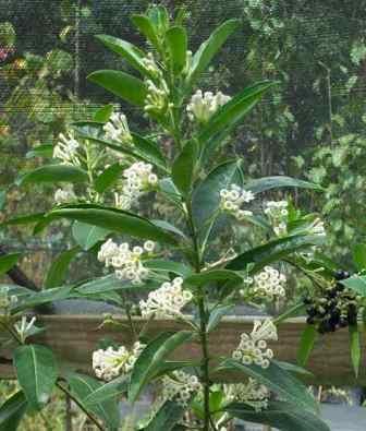 White Cestrum, Day Blooming Jasmine, Day Blooming Jessamine