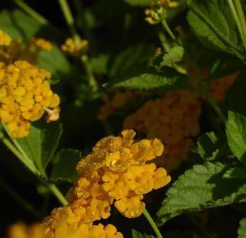 Chapel Hill Gold Lantana (mounding, golden yellow)