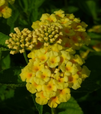 Chapel Hill Yellow Lantana Mounding Soft Yellow