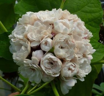 Fragrant Glory Bower, Cashmere Bouquet, Scented Malli, False Pikake, Glory Tree