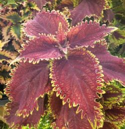 Under the Sea™ King Crab Coleus, Painted Nettle