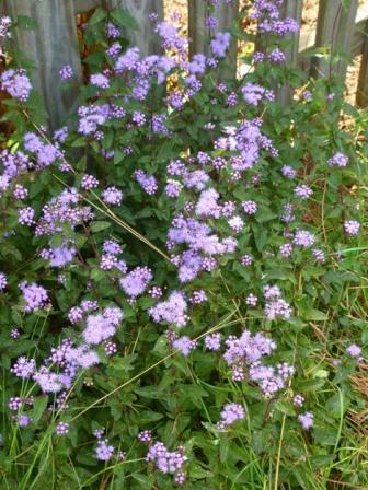 Blue Mistflower, Wild Ageratum, Hardy Ageratum, Blue Boneset