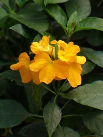 Florida Summer Firecracker Flower, Crossandra