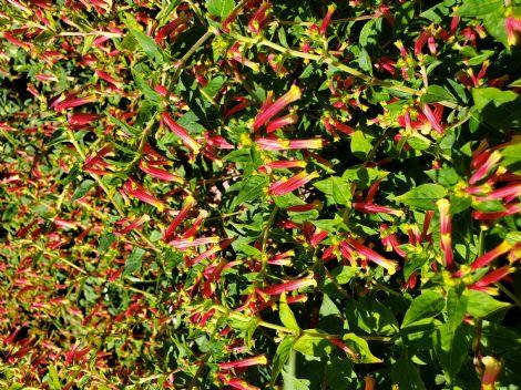 Honeybells™ Cigar Plant, Cuphea