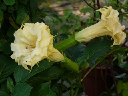 Datura metel 'Double Yellow'