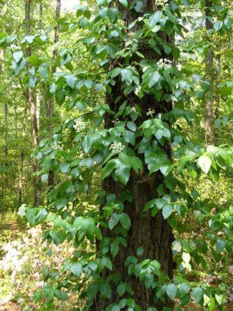 Climbing Hydrangea, Woodvamp, Decumaria