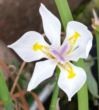 David's Dwarf Butterfly Iris, African Iris, Fortnight Lily, Fortnight Iris