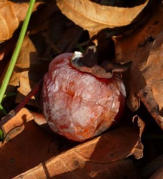 American Persimmon, Common Persimmon, Florida Persimmon, Simmon, Possumwood