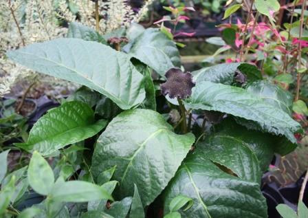 Congo Fig, Dorstenia