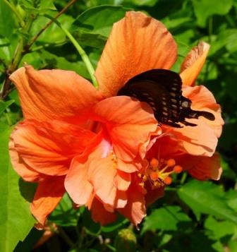 Double Orange Hibiscus