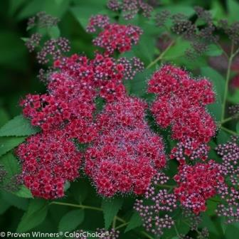 Double Play® Red Japanese Spirea